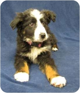 Border Collie/Shepherd (Unknown Type) Mix Puppy for adoption in Westminster, Colorado - ACE