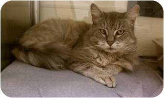 Domestic Longhair Cat for adoption in Worcester, Massachusetts - Angel