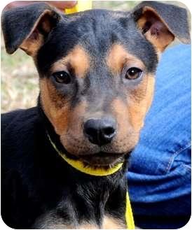 Miniature Pinscher/Manchester Terrier Mix Puppy for adoption in Wakefield, Rhode Island - EMILY(SOOOO SMART!!)