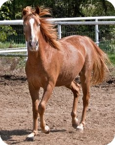 Pony - of America Mix for adoption in Sugar Land, Texas - Vincent