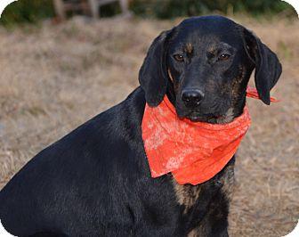 Coonhound/Labrador Retriever Mix Dog for adoption in Plainfield, Connecticut - Sadie