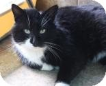 Domestic Mediumhair Cat for adoption in West Des Moines, Iowa - Russ