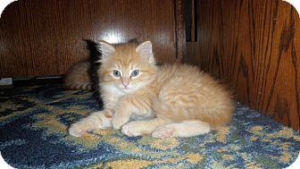 Domestic Longhair Kitten for adoption in Clarksville, Indiana - Sherbert