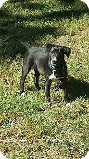 Labrador Retriever Mix Dog for adoption in North Brunswick, New Jersey - China