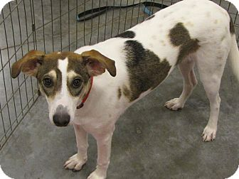 Whippet/Terrier (Unknown Type, Medium) Mix Dog for adoption in Crowley, Louisiana - Petunia