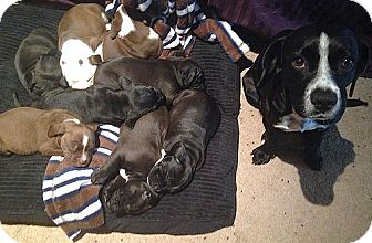 Beagle/Labrador Retriever Mix Puppy for adoption in San Francisco, California - Betty's Boys Beagle/Pit/Lab