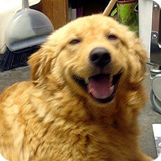 Golden Retriever Mix Dog for adoption in Manassas, Virginia - Awesome