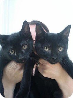 Domestic Shorthair Kitten for adoption in bridgeport, Connecticut - Skeeter & Bebe