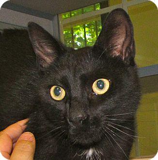 Domestic Shorthair Cat for adoption in Walden, New York - Slinky