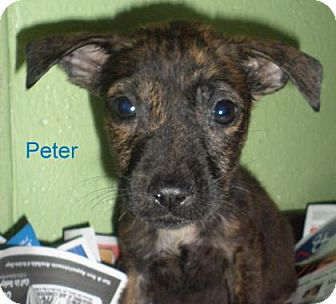 American Bulldog Mix Puppy for adoption in Georgetown, South Carolina - Peter