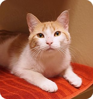 Domestic Shorthair Cat for adoption in Ocean View, New Jersey - Ronnie Mac