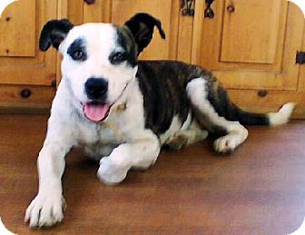 Staffordshire Bull Terrier Mix Dog for adoption in El Cajon, California - Romina