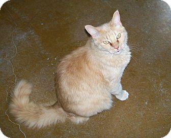 Domestic Shorthair Cat for adoption in Scottsdale, Arizona - JoJo