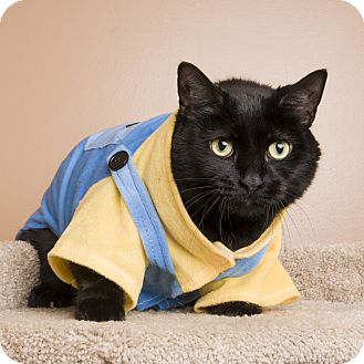 Domestic Shorthair Cat for adoption in Reading, Pennsylvania - Midnight