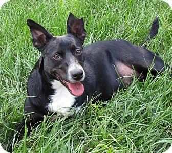 Labrador Retriever/Retriever (Unknown Type) Mix Dog for adoption in Lake Charles, Louisiana - Reagan