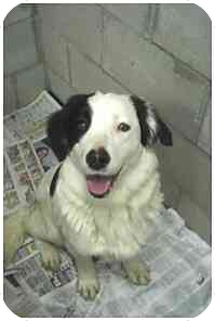 Border Collie Mix Dog for adoption in Powell, Ohio - Daphne