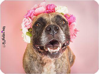Boxer/Labrador Retriever Mix Dog for adoption in Phoenix, Arizona - Berkley