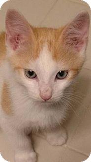 Domestic Shorthair Kitten for adoption in Merrifield, Virginia - Freedom