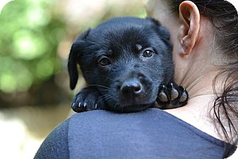 Shepherd (Unknown Type)/Labrador Retriever Mix Puppy for adoption in Acworth, Georgia - Snorkeling - Water Sport