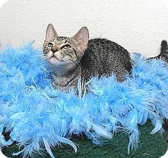 American Shorthair Cat for adoption in Miami Shores, Florida - Mercury