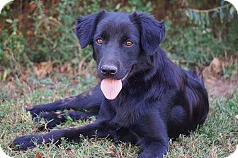 Flat-Coated Retriever/Spaniel (Unknown Type) Mix Dog for adoption in Westport, Connecticut - *Izzy - PENDING
