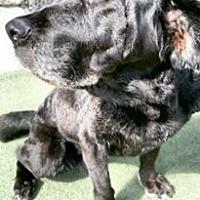 Labrador Retriever Dog for adoption in Overland PArk, Kansas - Hadley