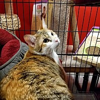 Adopt A Pet :: Anika - Albuquerque, NM
