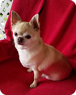 Chihuahua Mix Dog for adoption in Pittsburgh, Pennsylvania - Yoda