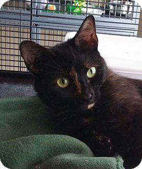 Domestic Mediumhair Cat for adoption in Templeton, Massachusetts - Roxy