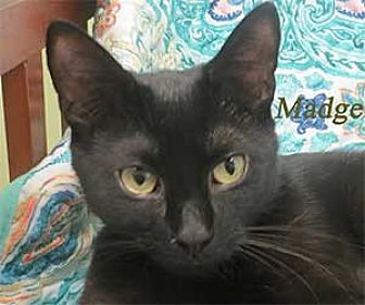 Domestic Shorthair Kitten for adoption in Warren, Pennsylvania - Madge