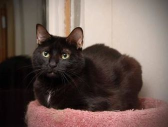 Domestic Shorthair Cat for adoption in Manchester, Missouri - Sally