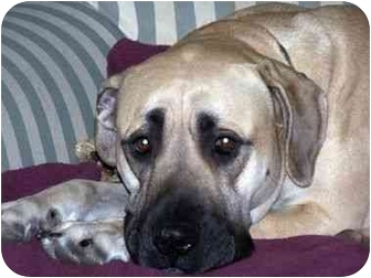 Bullmastiff Dog for adoption in various, Virginia - Daisy