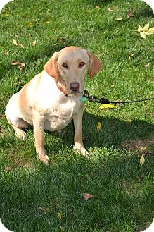 Labrador Retriever Dog for adoption in Lewisville, Indiana - Honey Boo Boo
