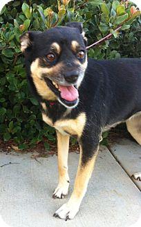 German Shepherd Dog/Spitz (Unknown Type, Medium) Mix Dog for adoption in El Cajon, California - WANDA