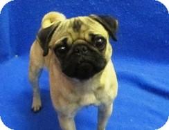 Pug Dog for adoption in Reading, Pennsylvania - Priscilla