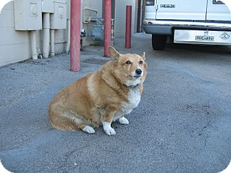Corgi Dog for adoption in Simi Valley, California - barbara