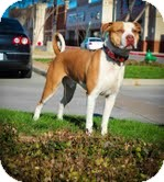 American Staffordshire Terrier Mix Dog for adoption in justin, Texas - Maximus