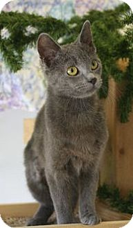 Russian Blue Cat for adoption in Washburn, Wisconsin - I'm Blue Too