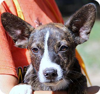 Corgi Mix Puppy for adoption in Pewaukee, Wisconsin - Cream