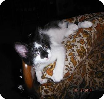 Domestic Shorthair Kitten for adoption in Toledo, Ohio - Norman (Kitten)