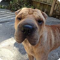 Adopt A Pet :: Alfie - Houston, TX