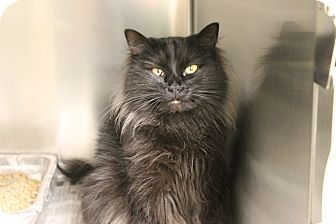 Siberian Cat for adoption in Windsor, Virginia - Coco and Chanel