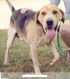 Hound (Unknown Type)/Shepherd (Unknown Type) Mix Dog for adoption in Kingsport, Tennessee - Clooney