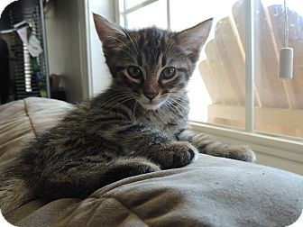 Domestic Shorthair Kitten for adoption in Alexis, North Carolina - Snoopy