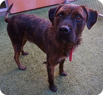 American Pit Bull Terrier/Shepherd (Unknown Type) Mix Dog for adoption in Farmington, New Mexico - Ulysses