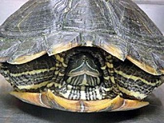 Turtle - Other for adoption in Wildomar, California - SWIFTY