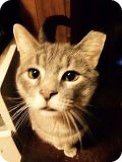 Domestic Shorthair Cat for adoption in Delmont, Pennsylvania - Virgil
