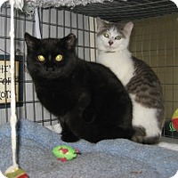 Adopt A Pet :: Brother Kittens - Kirkwood, DE