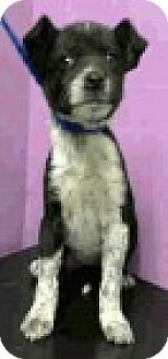 Australian Shepherd/Border Collie Mix Puppy for adoption in Boulder, Colorado - Blue-ADOPTION PENDING