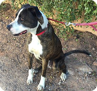 Rhodesian Ridgeback/Great Dane Mix Dog for adoption in Phoenix, Arizona - Ranger